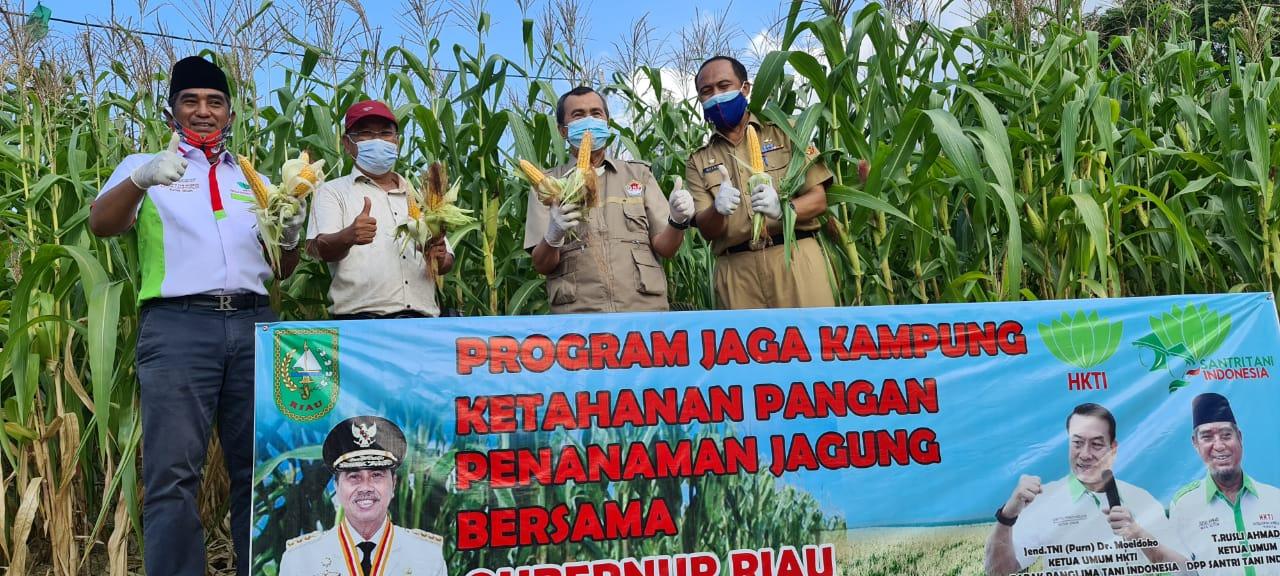 Gubernur Riau Panen Jagung Yang Ditanam Sendiri 3 Bulan Lalu di RA Kopi Aren, Menghimbau Masyarakat Manfaatkan Lahan Terlantar