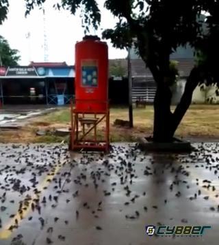 Setelah Kota Cirebon di Guyur Hujan, Ribuan Burung Pipit Mati Tergeletak di Bawah Pohon