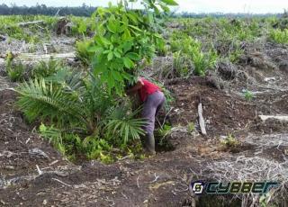Masyarakat Sungai Linau dan Yayasan SALAMBA Mulai Aksi Penanaman Ratusan Pohon Karet